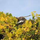 The Wings Of A Northern Mockingbird On A Fall Day by NewfieKeith