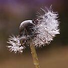 Fluffy dandelion drops by Karen Havenaar
