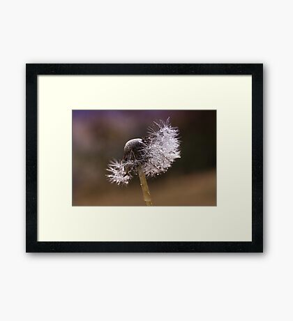 Fluffy dandelion drops Framed Print