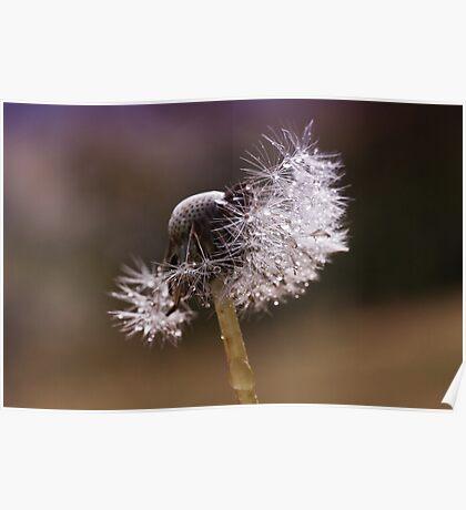 Fluffy dandelion drops Poster