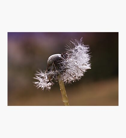 Fluffy dandelion drops Photographic Print