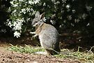 Tammar Wallaby by Michelle Cocking