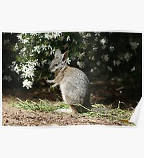 Tammar Wallaby Poster