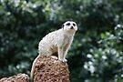 Slender-Tailed Meerkat by Michelle Cocking