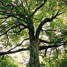 Tree Canopy by Robina Wilson