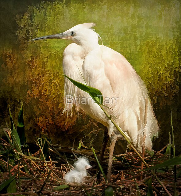 Little Egret and Chick by Brian Tarr