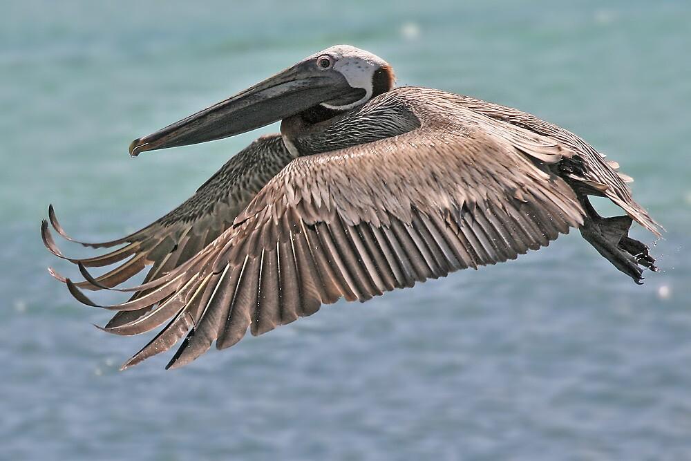 Brown Pelican by Nicole Besch