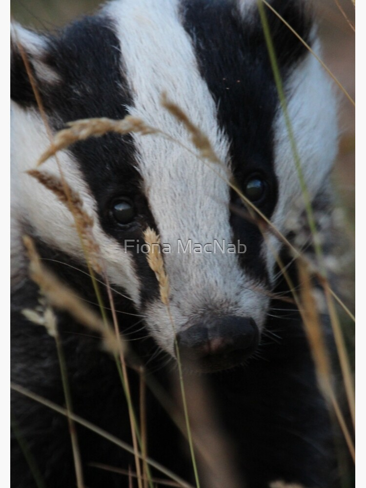Badger hide and seek by orcadia