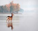 Young Buck - Ottawa River, Dunrobin Ontario by Debbie Pinard