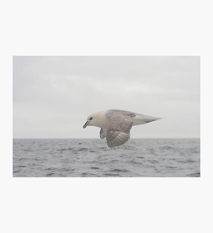 Fulmar Fly Past Photographic Print
