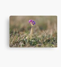 Primula Scotica Canvas Print