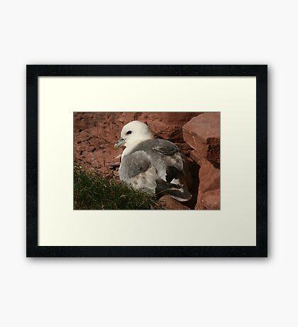 Fulmar Framed Print