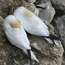 A nesting pair by Fiona MacNab