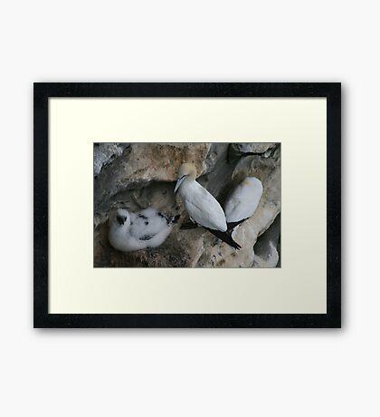 Solan geese Framed Print