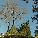 Tree In The San Bernardino Mountains. by Bearie23