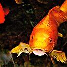 Koi pond by Jessica Chirino Karran