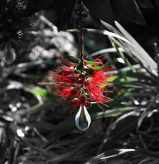 hangin bottlebrush by fazza