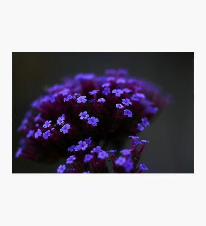 Purpletop Verbena in Moonlight  Photographic Print