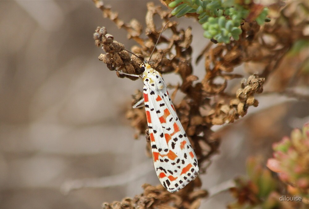 Crimson Speckled Footman by dilouise