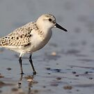 Sanderling by DutchLumix