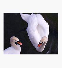 Mute Swans Photographic Print