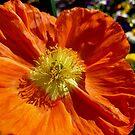 Orange Poppy Shines In The Sun by Douglas E.  Welch