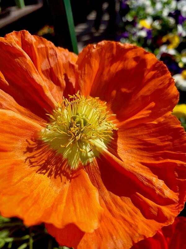'Orange Poppy Shines In The Sun' by Douglas E. Welch