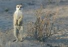 The meerkat bush by Anthony Brewer