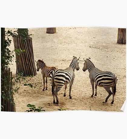 Stripes... Zebra Family Poster