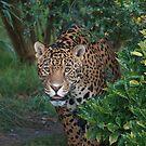 Male Leopard 2 by Franco De Luca Calce