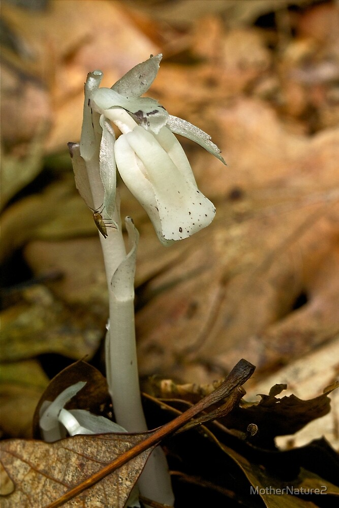 Indian Pipe Wildflower and Fungus Gnat - Monotropa uniflora by MotherNature2
