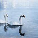 Swans by Ben Rees