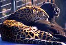 LEOPARDS by Betsy  Seeton