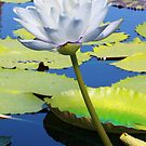 Gigante Albert De Lestang Waterlily by Robert Armendariz