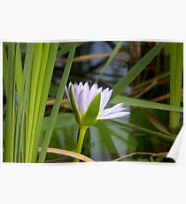 Reeds & Waterlily Poster