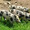 Pigs Goats and Cows