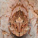Female black flat-head leafhopper - Stenocotis depressa by Andrew Trevor-Jones