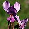 Australian Native Orchids