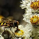 Hoverfly by Heather Haderly