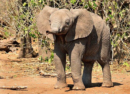 Elephant, Mashatu, Botswana by Sharon Bishop