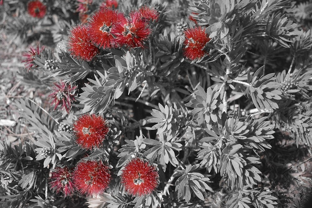 A touch of Bottle Brush Plant by SusanHope