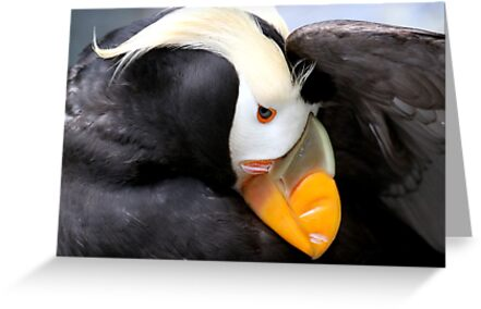 Tufted Puffin by Micci Shannon