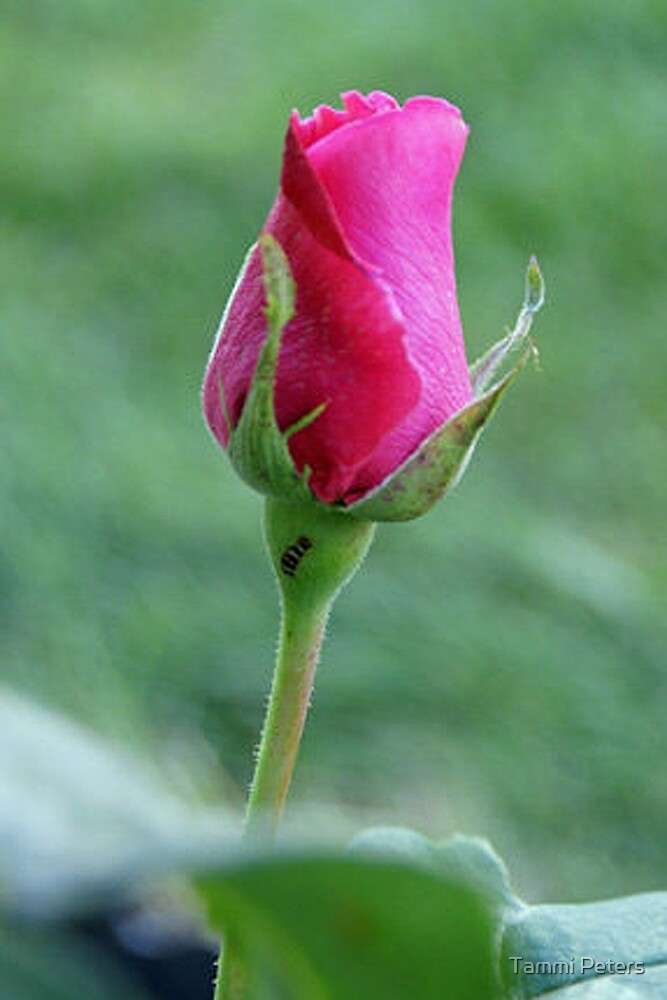 First Spring Rose by Tammi Peters