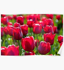 Table Cape Tulip - Red Poster