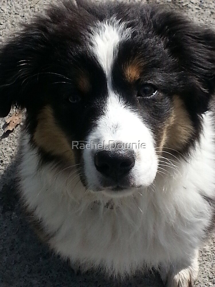 Australian Shepherd by Rachel Downie