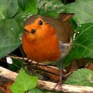 Red Breast not Ginger Breast silly! by David Kirkham