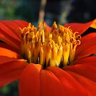 Tithonia rotundifolia by Irina777