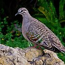 Bronzewing by Rick Playle
