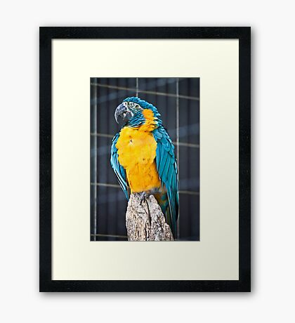 Blue Throated Macaw Framed Print