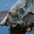 Timber Wolf Autumn Drink by Benjamin Brauer